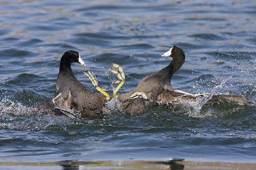 Waterfowl copulating