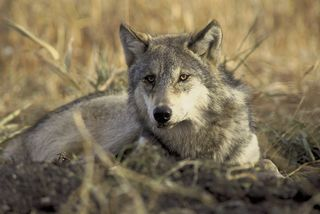 Gray-Wolf-pic