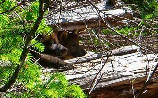 Pups-in-log_stephenson_usfws-cropped